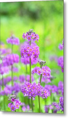 Metal Print featuring the photograph Candelabra Primula by Tim Gainey