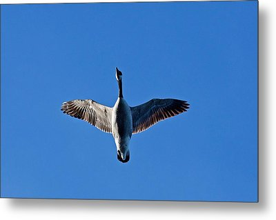 Metal Print featuring the photograph Candian Goose In Flight 1648 by Michael Peychich
