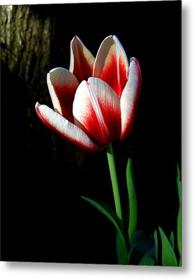 Candy Cane Tulip Metal Print by Peg Urban
