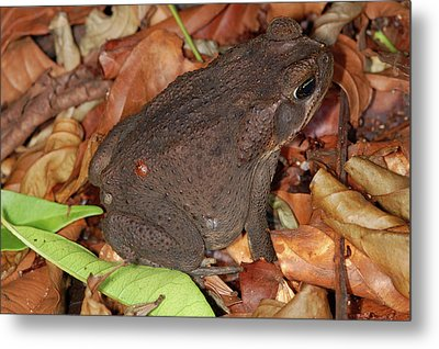 Metal Print featuring the photograph Cane Toad by Breck Bartholomew