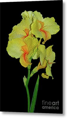 Canna Lily Be So Pretty? Metal Print