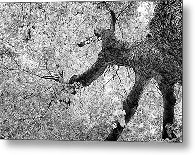 Canopy Of Autumn Leaves In Black And White Metal Print by Tom Mc Nemar