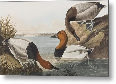 Canvas Backed Duck Metal Print