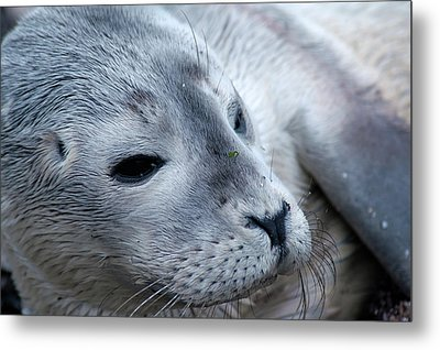 Metal Print featuring the photograph Cape Ann Seal by Mike Martin