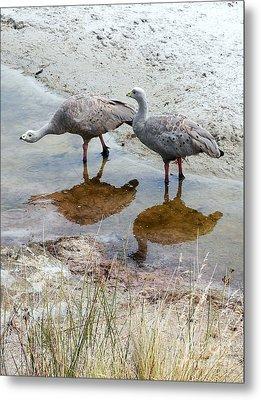 Cape Baron Geese On Maria Island 2 Metal Print