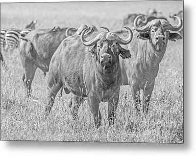 Cape Buffalos In Serengeti Metal Print by Pravine Chester