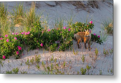 Metal Print featuring the photograph Cape Cod Beach Fox by Bill Wakeley