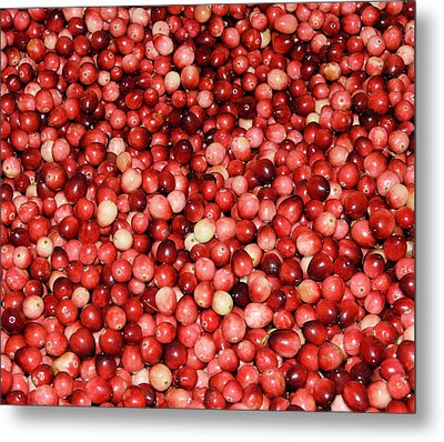 Cape Cod Cranberries Metal Print