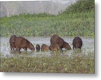 Metal Print featuring the photograph Capybara by Wade Aiken