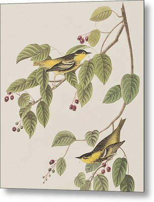 Carbonated Warbler Metal Print by John James Audubon
