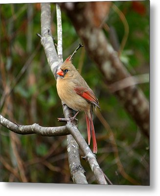 Metal Print featuring the photograph Cardinal by Cathy Harper