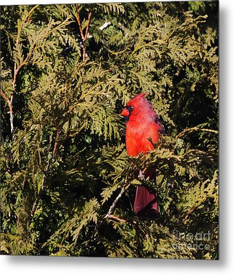 Metal Print featuring the photograph Cardinal I by Michelle Wiarda