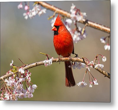 Metal Print featuring the photograph Cardinal In Cherry by Angel Cher