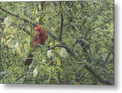Cardinal In Mesquite Metal Print by Laura Pratt