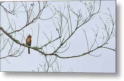 Metal Print featuring the photograph Cardinal In Tree by Richard Rizzo