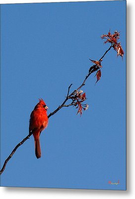 Metal Print featuring the photograph Cardinal On A Cherry Branch Dsb033 by Gerry Gantt