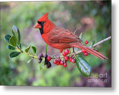 Metal Print featuring the photograph Cardinal On Holly Branch by Bonnie Barry