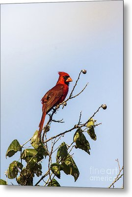 Metal Print featuring the photograph Cardinal On Treetop by Robert Frederick