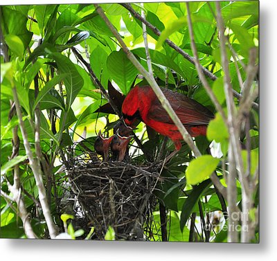 Cardinals Chowtime Metal Print by Al Powell Photography USA