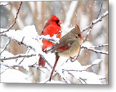 Cardinals In The Winter Metal Print by Trina Ansel