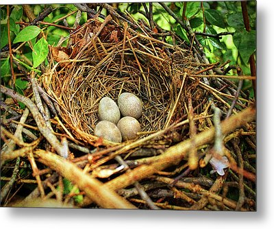 Brown Thrasher Nest And Eggs Metal Print by Bellesouth Studio