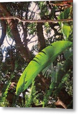 Metal Print featuring the photograph Caribbean Banana Leaf by Ian  MacDonald