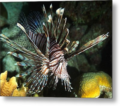 Caribbean Lion Fish Metal Print