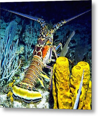 Caribbean Reef Lobster Metal Print