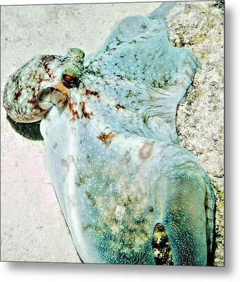 Caribbean Reef Octopus - Eyes Of The Deep Metal Print