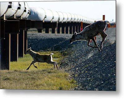 Caribou Cow And Fawn Metal Print by Anthony Jones