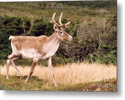 Metal Print featuring the photograph Caribou by Mary Mikawoz