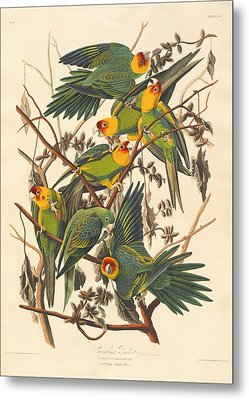 Carolina Parrot Metal Print by Dreyer Wildlife Print Collections