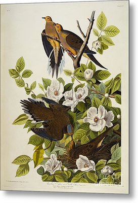 Carolina Turtledove Metal Print by John James Audubon