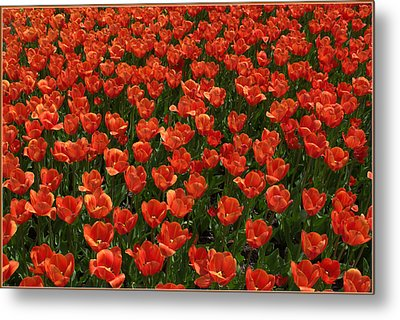 Carpet Of Tulips Metal Print by Mindy Newman