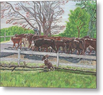 Cattle Drive In Lake City Metal Print by Gail Seufferlein