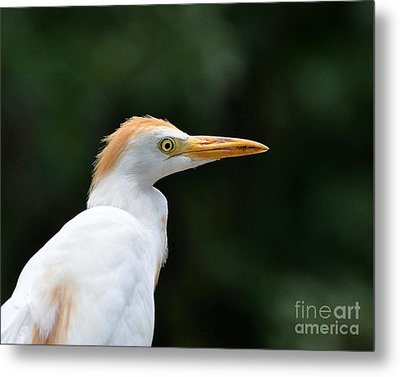 Cattle Egret Close-up Metal Print by Al Powell Photography USA