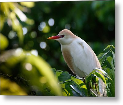 Cattle Egret In Oklahoma Metal Print