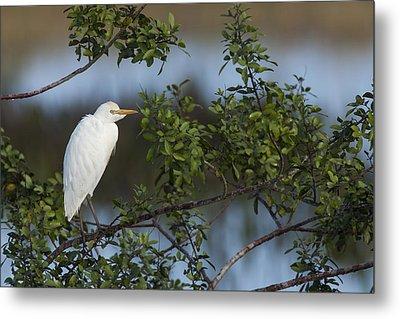 Cattle Egret In The Morning Light Metal Print