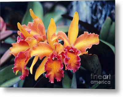 Cattleya Orchids Metal Print by Allan Seiden - Printscapes