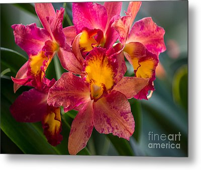 Cattleya Orchids Metal Print by Fiona Craig