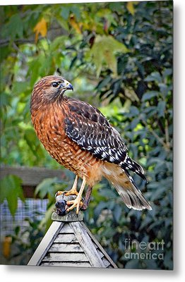 Metal Print featuring the photograph Caught In The Talons by Sue Melvin