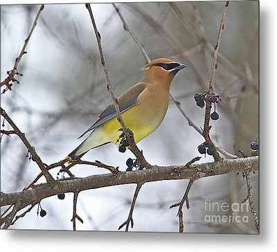 Cedar Wax Wing-2 Metal Print by Robert Pearson