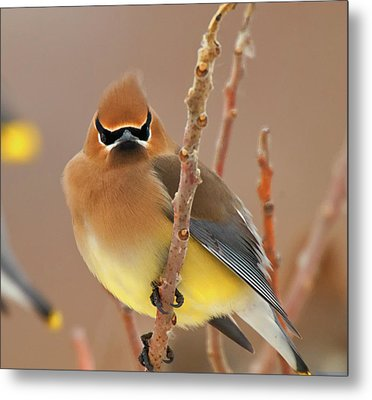 Cedar Wax Wing Metal Print by Carl Shaw
