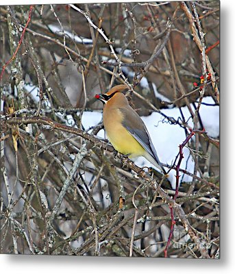 Cedar Wax Wing Metal Print by Robert Pearson