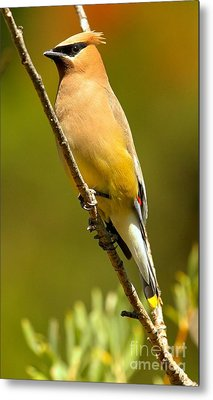 Cedar Waxwing Metal Print by Adam Jewell