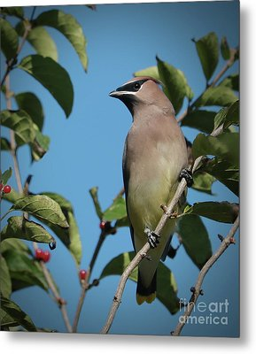 Cedar Waxwing At Rest Metal Print