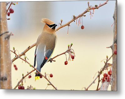 Cedar Waxwing Metal Print by Betty LaRue