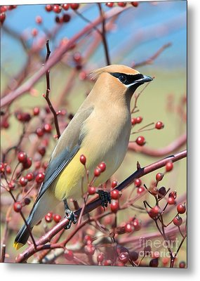 Metal Print featuring the photograph Cedar Waxwing by Debbie Stahre