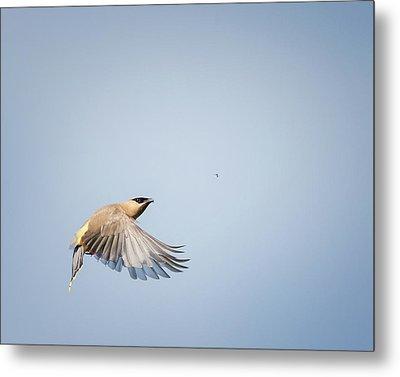 Cedar Waxwing In Flight Metal Print by Bill Wakeley