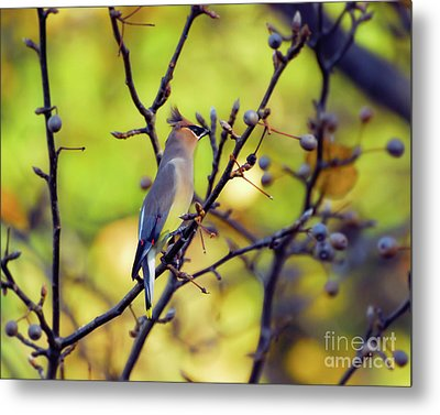 Metal Print featuring the photograph Cedar Waxwing With Windblown Crest by Kerri Farley of New River Nature